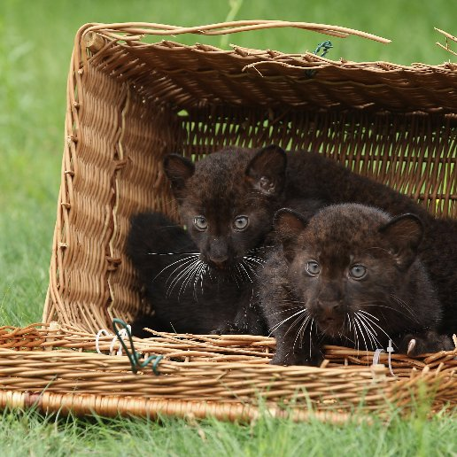 BLACK PANTHER CUBS FOR SALE AVAILABLE ON MARKET