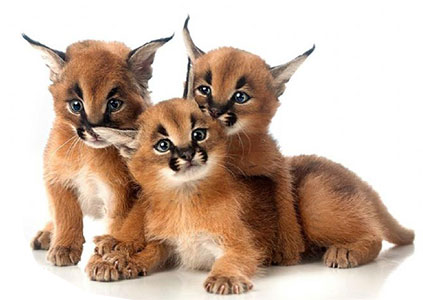 caracal cats animals animal baby caracals kittens exotic pets wild low kitty savannah cubs charges delivery africa native