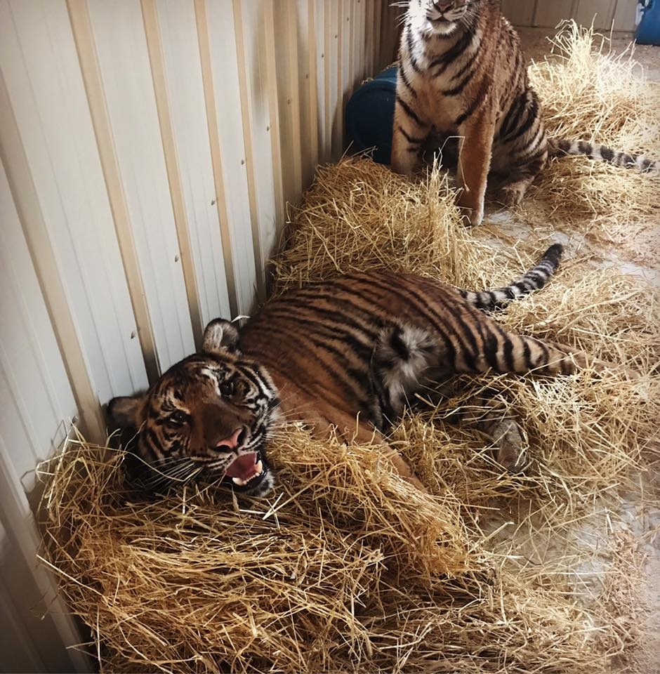 BABY TIGERS FOR SALE ONLINE ORDER AND DELIVERY