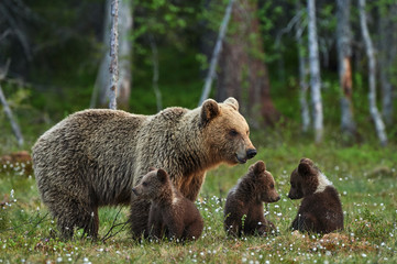 Yellowstone grizzly hunting