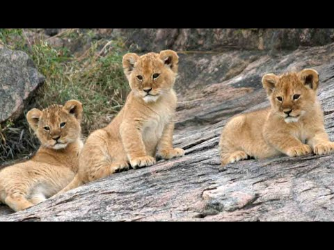 Funny lions cubs