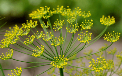 Dill is a great food to use in fermentation