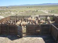 Camellos Salvajes,Centro de Cría, Mongolia