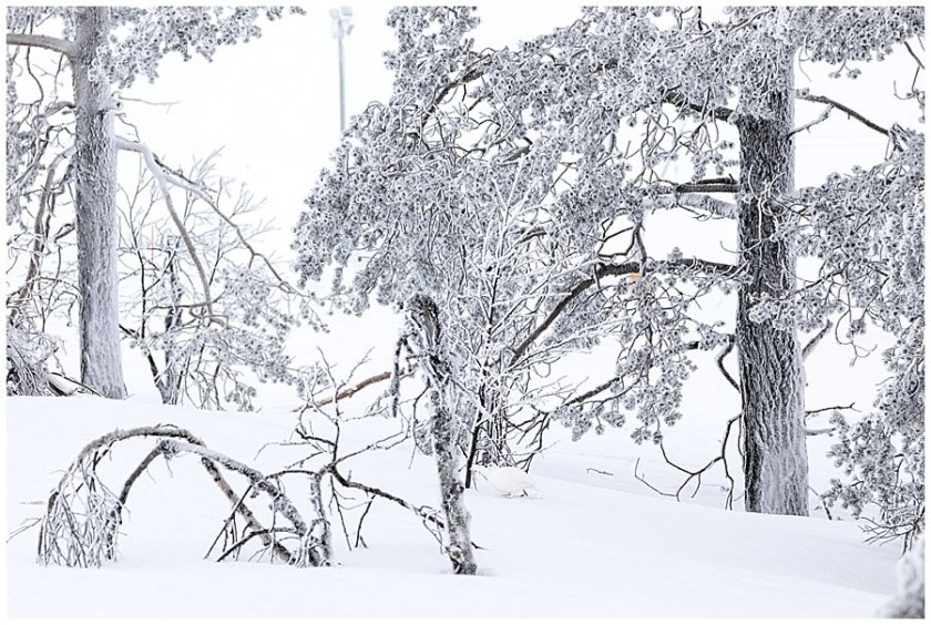 A white snow grouse bird blends in against the snowy landscape in Levi Finland by Wild Connections Photography