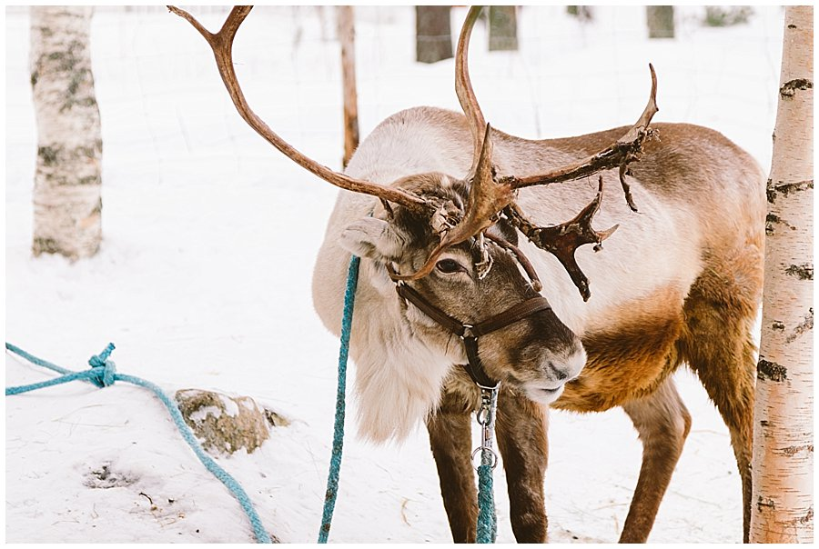 A reindeer is teathered to a tree at Santa's Pet Farm in Levi Finland by Wild Connections Photography