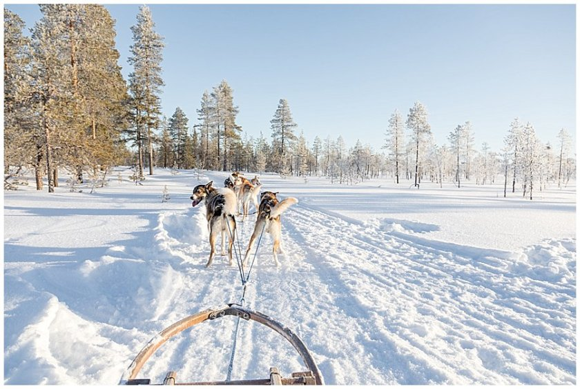 Wingrens Dog Safari Lapland the dogs are waiting and ready to go in Levi Finland by Wild Connections Photography