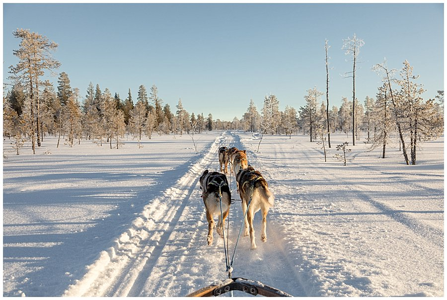 Wingrens Husky Safari Lapland dogs pull the sled along a straight section of the track by wild connections photography