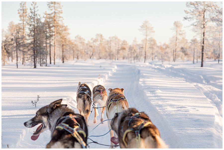 Wingrens Husky Safari Lapland 5 dogs pull the sled through the forest by Wild Connections Photography