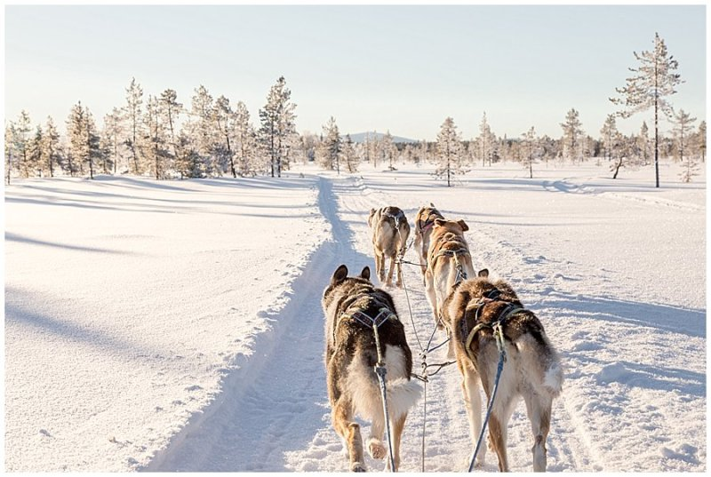 Arriving at the wedding by husky sleigh in Finland by Wild Connections Photography