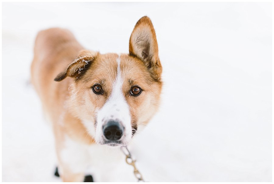 Wingrens Husky Safari Lapland a ginger dog with one ear up and one down looks at the camera