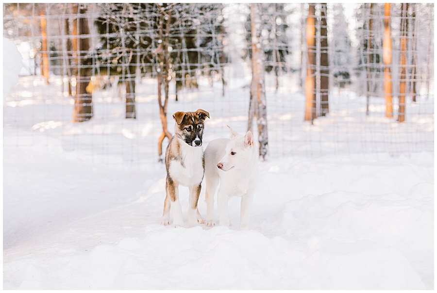 Wingrens Husky Safari Lapland two puppies play in the snow by Wild Connections Photography