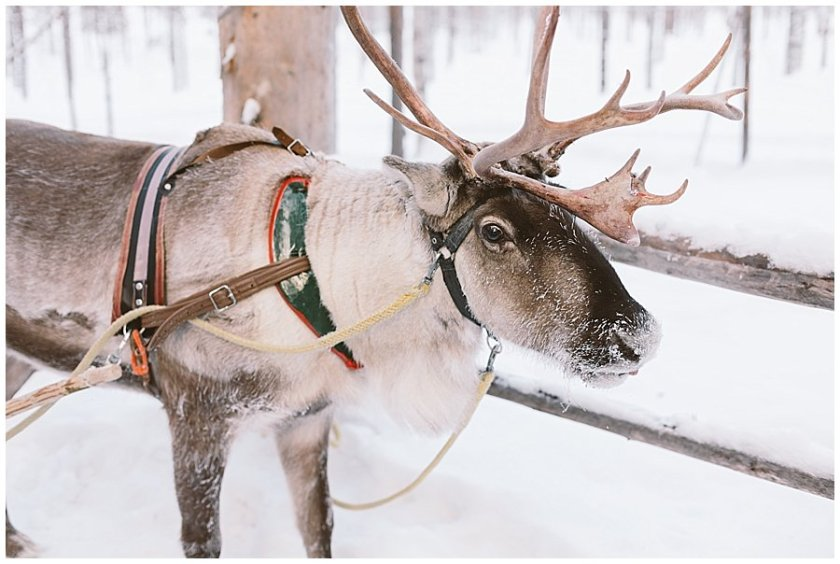 Reindeer Safari Levi Lapland a reindeer waits with his harness in Levi Finland by Wild Connections Photography