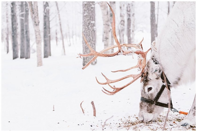 An adult reindeer eats food from the frozen ground at the Reindeer Farm Levin Sammuntupa Levi