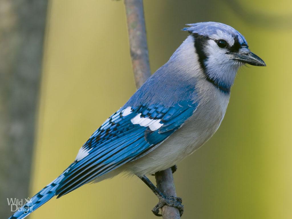 blue jay wild delightwild