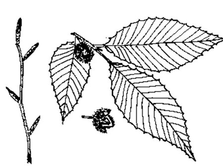 Beech tree leaf and beechnut drawing