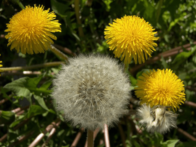 Dandelion â?? the easy-to-identify (and find) edible plant ...