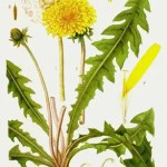 Dandelion illustration - various components of the Dandelion plant