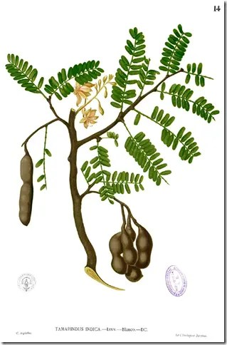 Color drawing of Tamarind plant illustrating plant, leaves, and hanging fruit