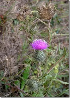 Thistle plant with flower growing in the wild