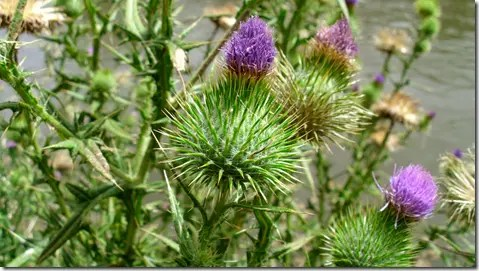 Spiny flower base on a Thistle plant