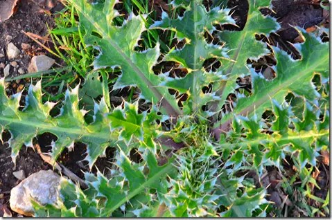 Thistle leaves