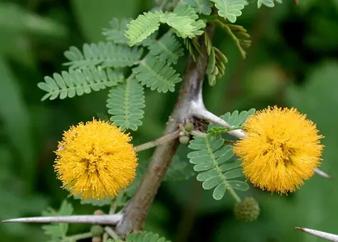 Closeup of Acacia leaves and flowers