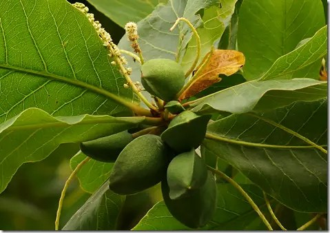Tropical Almond tree fruit are almond shaped