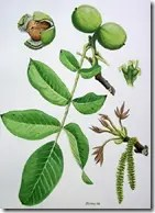 Diagram of Walnut tree components including branch, leaves, nuts, and flowers