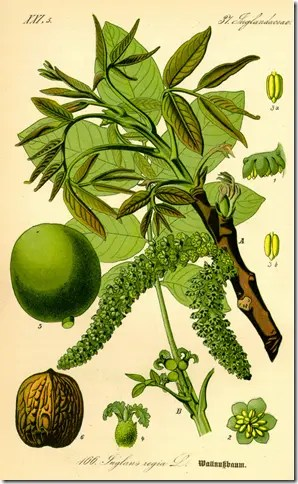 Color diagram of Walnut tree illustrating leaves, flowers, husks, and nut