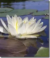 Water Lily plants have large, showy white flowers that float above the water