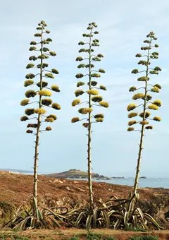 Agave plants in full bloom