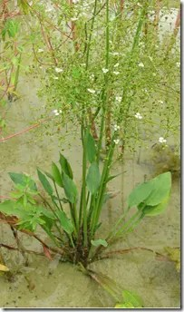 Water Plantain growing in stagnant water