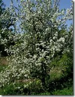Wild Apple tree with white flowers