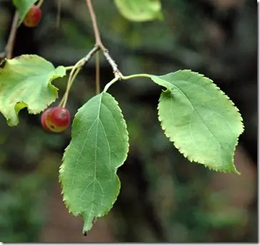 Wild Apple tree leaves with hanging fruit