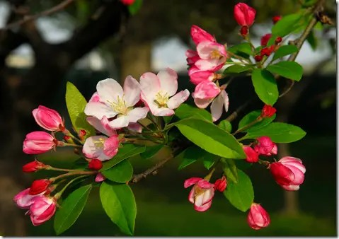 Wild Apple tree flowers
