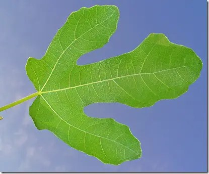Wild Fig leaves can also be lobed typically with three or five lobes on each leaf