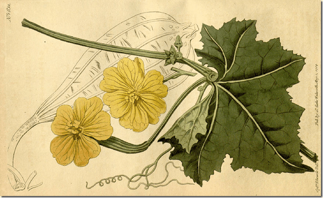 Color drawing of Wild Gourd plant