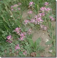 Wild Onion can be easily spotted in the wild by their showy flowers