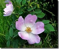 Wild Rose flowers are typically pinkish white