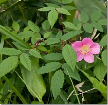 Wild Rose stems, leaves, and flower
