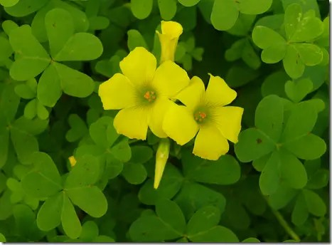 Wood Sorrel yellow flowers surrouned by three-leafed leaves
