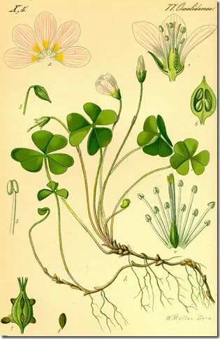 Color drawing of Wood Sorrel plant illustrating the plants stem, leaves, root system, and flowers