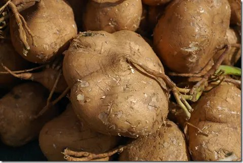 Close up of Yam Bean roots/tubers