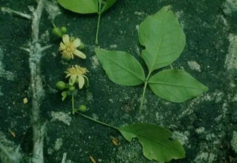 Bael Fruit leaves stem, flowers, and leaves