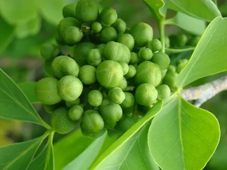 Small Bael Fruit seeds
