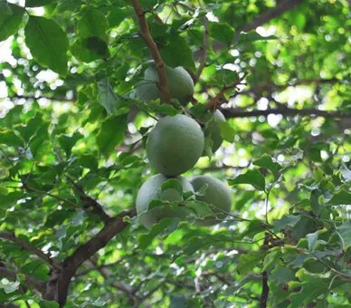 Bael Fruit haning from tree branches
