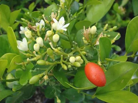 Bael Fruit flowers