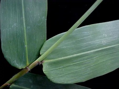 Close-up of a bamboo leaf
