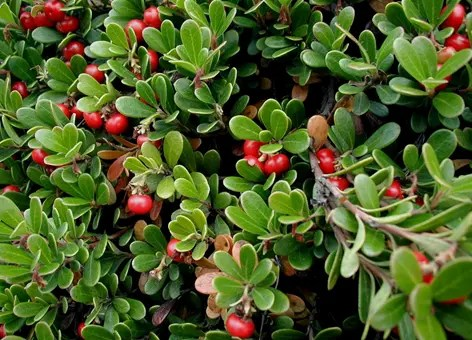 Bearberry leaves and berries (fruit)