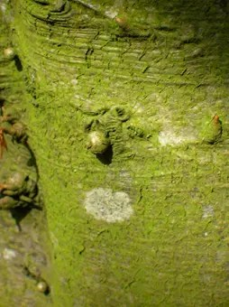 Bark of a Beech tree